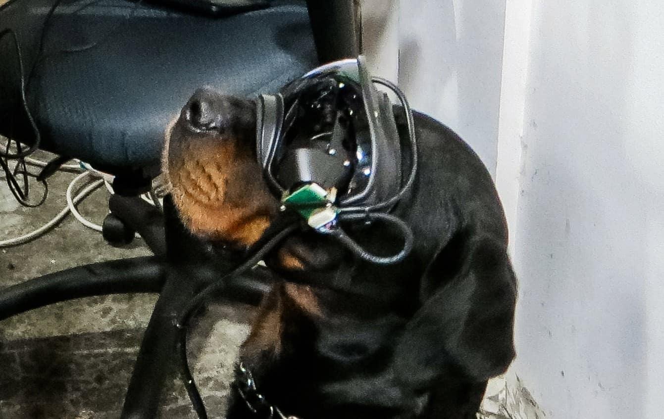 Ротвейлер Метра в окулярах Rex Specs